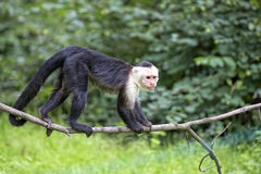White-throated Capuchin in the wild. In the forest royalty free stock image