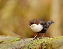 White-throated Dipper. The White-throated Dipper is a  funny bird ta watch and to photograph. The Dipper searches for food under submerged rocks,  They are good Stock Photos