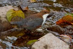 White-throated Dipper Royalty Free Stock Images