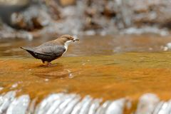 White-throated Dipper, Cinclus cinclus, brown bird with white throat in the river, waterfall in the background, animal behavior in. The nature habitat, with royalty free stock photo