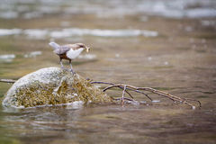 White throated Dipper (Cinclus-cinclus) Stock Image