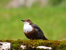 The White-throated Dipper (Cinclus cinclus), Royalty Free Stock Photo