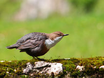 The White-throated Dipper (Cinclus cinclus), Stock Image