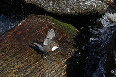 White-throated dipper Royalty Free Stock Photos