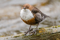 White-throated dipper & x28;Cinclus cinclus& x29; head on Stock Images