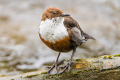 White-throated dipper & x28;Cinclus cinclus& x29; perched on branch Royalty Free Stock Photography
