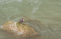 White-throated Dipper on rock Royalty Free Stock Photo