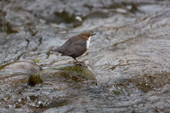 White-throated dipper  (Cinclus cinclus) Royalty Free Stock Photos