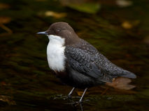 White throated dipper (Cinclus cinclus) Stock Photography