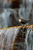 White-throated Dipper, Cinclus cinclus, water diver, brown bird with white throat in river, waterfall in the background, animal in Royalty Free Stock Image
