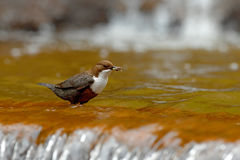 White-throated Dipper, Cinclus cinclus, water diver with food in the bill, Germany. Bird with waterfall. Brown bird with white thr Royalty Free Stock Photo