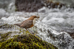 White Throated Dipper Feeding Royalty Free Stock Image