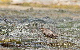 A White-throated Dipper fishing in the river Stock Photos