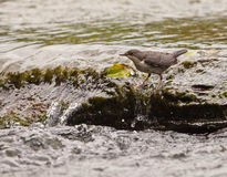 White-throated Dipper keeping the balance. A White-throated Dipper tries to hold on slippery rocks as he searches for water-insects hiding beneath Stock Photo