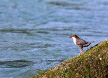 White-throated dipper on moss rock Royalty Free Stock Photo