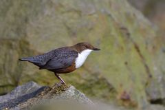 White-throated dipper Stock Photo