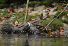 White-throated Dipper Royalty Free Stock Image