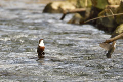 White-throated dipper Stock Photography