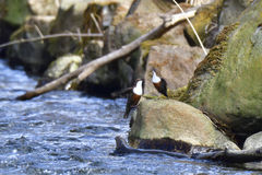 White-throated dipper Stock Images