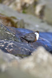 White-throated dipper Royalty Free Stock Photo