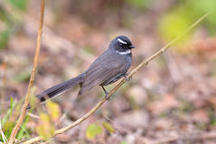 White-throated Fantail (Rhipidura albicollis) Stock Photos