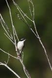 White-throated Honeyeater (Melithreptus albogularis) Stock Photography
