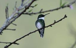 White-throated hummingbird, Amazilia chionogaster Stock Images