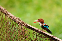 Free White-throated Kingfisher Stock Photography - 20283942