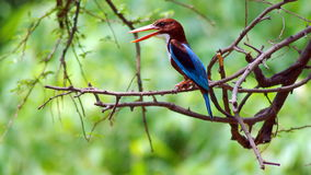White-throated kingfisher. The  also known as the white-breasted kingfisher or Smyrna kingfisher, is a tree kingfisher, widely distributed in Asia from Turkey Stock Photos