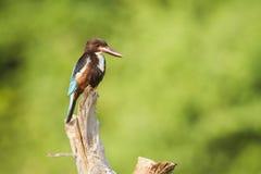 White-throated kingfisher in Arugam bay lagoon, Sri Lanka Stock Image