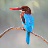White-throated Kingfisher Royalty Free Stock Image