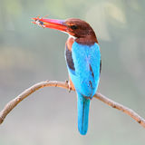 White-throated Kingfisher Royalty Free Stock Photos