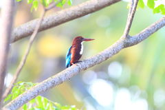 White-throated kingfisher. Beautiful white-throated kingfisher(Halcyon smyrnensis Stock Photography