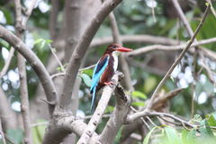 White throated kingfisher. A beautiful n colorful Indian kingfisher bird.This photo has been taken in Titwala village, thane city India Royalty Free Stock Image
