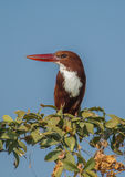 White Throated Kingfisher bird. With blue sky as a background Stock Image