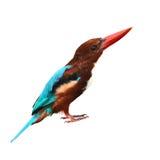 White-throated Kingfisher bird. (Halcyon smyrnensis) on white background Royalty Free Stock Photos