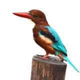 White-throated Kingfisher bird Royalty Free Stock Image