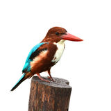 White-throated Kingfisher bird. (Halcyon smyrnensis) standing on stump, white background Stock Photo