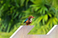 White throated Kingfisher bird shakes off water from its feather Royalty Free Stock Images