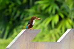 White throated Kingfisher bird standing on arrow sign with blurr Royalty Free Stock Photos
