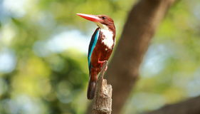 White-throated kingfisher(Halcyon smyrnensis). The white-throated kingfisher(Halcyon smyrnensis Royalty Free Stock Images