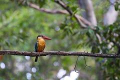The white-throated kingfisher stock photo