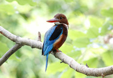 White throated kingfisher Halcyon smyrnensis Stock Photography