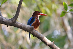 White throated Kingfisher Halcyon Smyrnensis Birds of Thailand Royalty Free Stock Photo