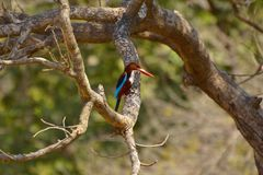 White-throated Kingfisher, Halcyon smyrnensis on a branch at Sagareshwar wildlife sanctuary, Sangli, Maharashtra. India Royalty Free Stock Photo