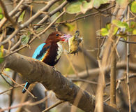 White-throated Kingfisher (Halcyon smyrnensis). A White-throated Kingfisher with catch Royalty Free Stock Photos