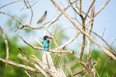 White-throated kingfisher or Halcyon smyrnensis Stock Images