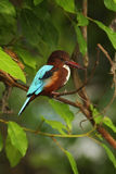 White-throated Kingfisher, Halcyon smyrnensis, exotic brawn and blue bird sitting on the branch, nature habita, , Thailand, Asia. White-throated Kingfisher Stock Image