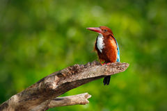 White-throated Kingfisher, Halcyon smyrnensis, exotic brawn and blue bird sitting on the branch, Sri Lanka, Asia. Kingfisher from Stock Photo