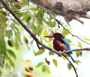 White - throated Kingfisher, Halcyon smyrnensis fusca. It is  sitting on a branch above the lake Stock Image